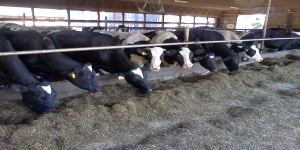 cows 12x6
